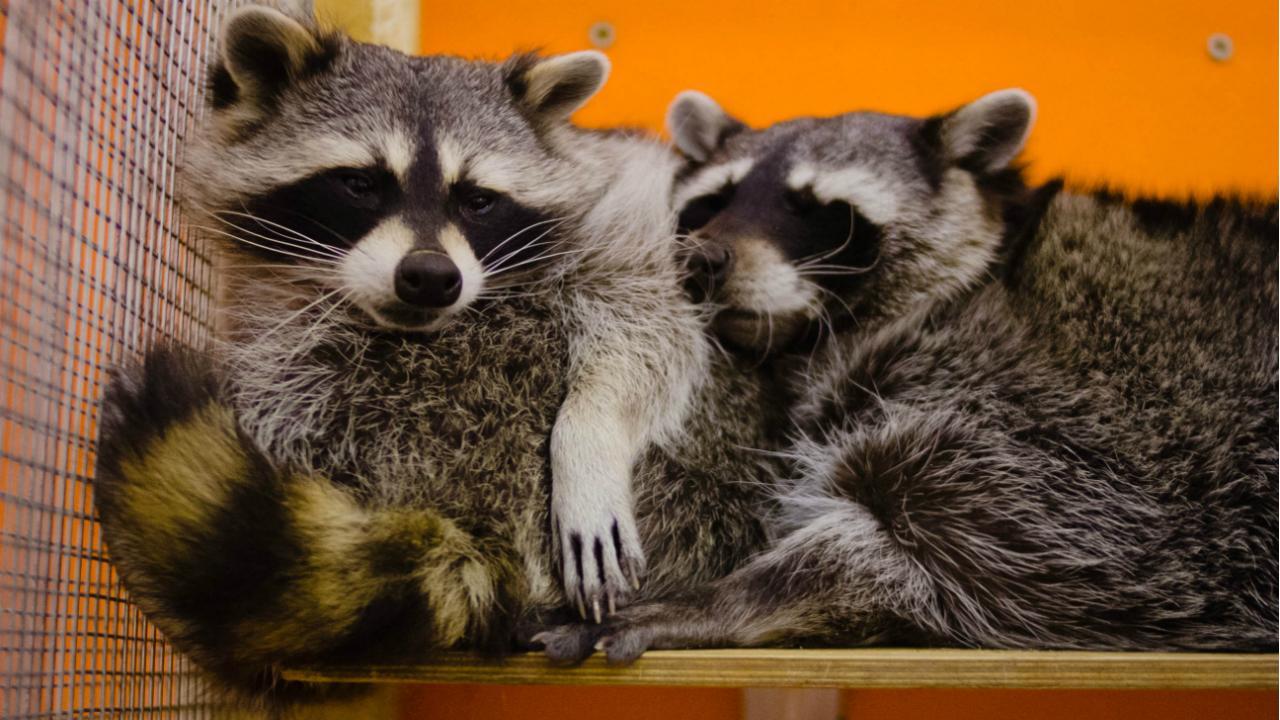 Очаровательные создания из контактного зоопарка «Погладь енота»