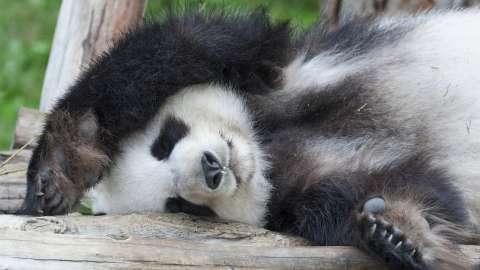 Спит ли панда?