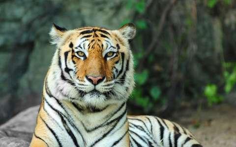 День тигра на канале «О!»